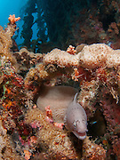Under water photography of a Grey moray (Siderea grisea) Photographed in the Red Sea Israel