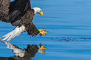 Bald Eagle -  Haliaetus leucophalus coming in to catch a fish