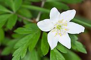 Wood Anemone - Anemone nemorosa. Stoke Woods, Bicester, Oxfordshire.