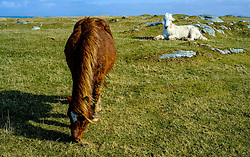 Horses grazing at Griminish, North Uist, Outer Hebrides, Scotland<br /> <br /> (c) Andrew Wilson | Edinburgh Elite media