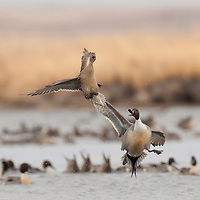 pintail drake taking off over water, taking off