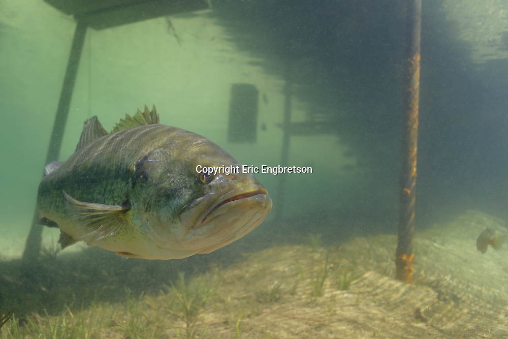 Largemouth Bass Under Boat Dock<br />