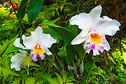 Orchids at the Hawaii Tropical Botanical Garden, Hamakua Coast, The Big Island, Hawaii USA