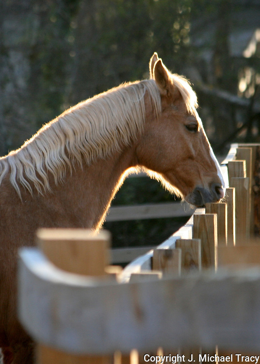 Beautiful Palomino outlined by the winter morning sun.