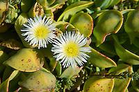 Seepampoen or Prenia vanrensburgii flowers growing on the coastline, Agulhas National Park, Western Cpae, South Africa,