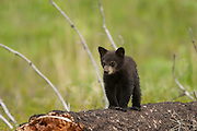 Black bear cub in the Greater Yellowstone Ecosystem