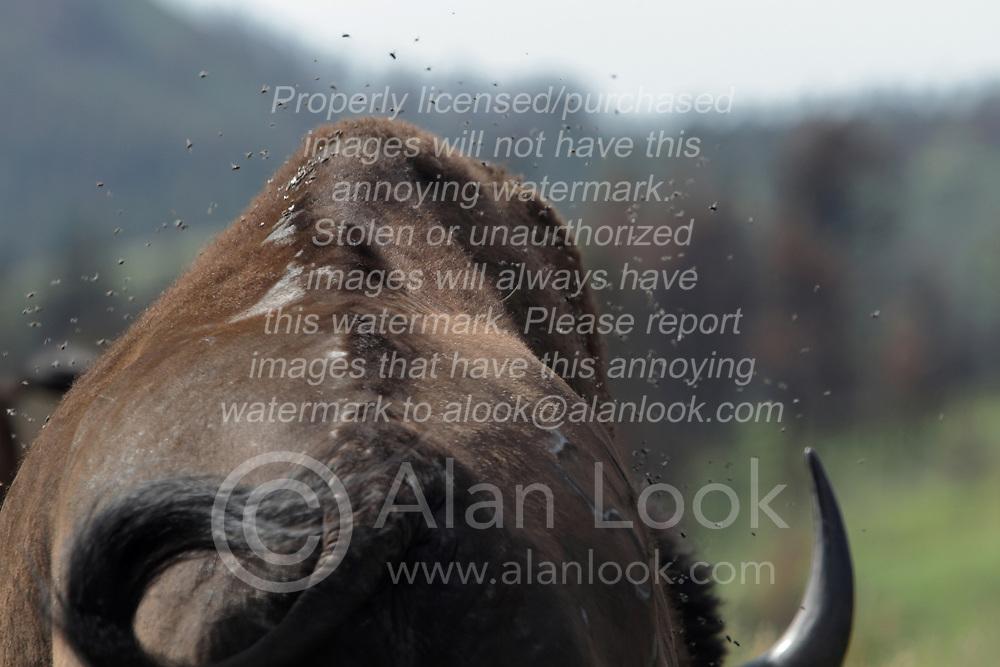 Bison, Buffalo or Tatanka