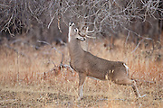 Wyoming whitetail buck during the autumn rut