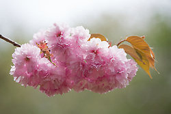 detail of a Cherry Blossom Tree against the sky