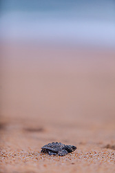 Small turtle walking to the sea. From the sand.