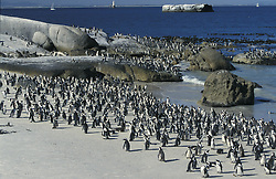 June 16, 2015 - Jackass Penguins, Boulders Beach, South Africa  (Credit Image: © Tuns/DPA/ZUMA Wire)
