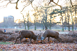 © Licensed to London News Pictures. 08/12/2017. London, UK. Two deer stags rutting at sunrise on a cold winter morning in Bushy Park. Forecasters recorded subzero overnight temperatures as Storm Caroline hits Britain. Photo credit: Rob Pinney/LNP