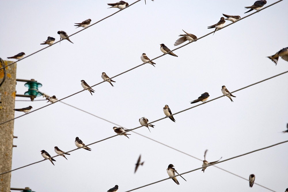 swallows gathering on above ground electrical wires