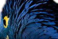 Portrait of a hyacinth macaw (Anodorhynchus hyacinthinus). He belongs to the genus of blue macaw. It is the largest parrot species. Head to caudal length is up to 1m. It is located in the Pantanal of Brazil and is characterized by its intense blue plumage. The eyes are surrounded by a bright yellow ring. Photographed at Parrot Park Bochum. / Portrait eines Hyazinth-Ara (Anodorhynchus hyacinthinus). Er gehoert zu der Gattung der Blauaras. Es ist die groesste Papgeien-Art . Kopf-Schwanzlaenge betraegt bis zu 1m. Er ist im Pantanal Brasiliens beheimatet und zeichnet sich durch sein intensiv blaues Gefieder aus. Die Augen werden von einem leuchtend gelben Ring umsaeumt. Fotografiert im Papageienpark Bochum.