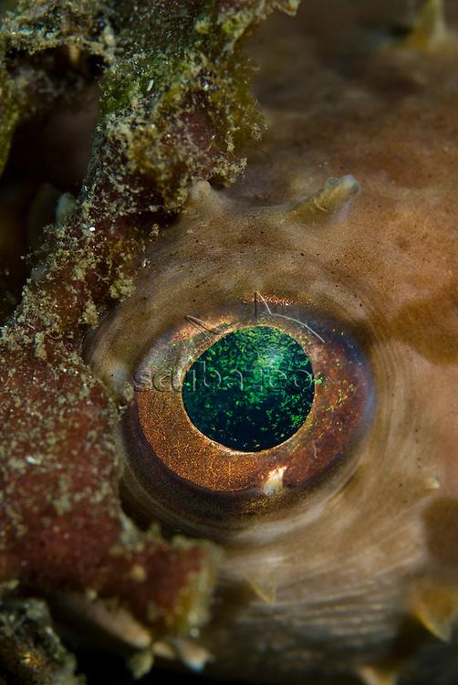 Close up of eye on Orbicular Burrfish, Cyclichthys orbicularis, KBR, Lembeh Strait, Sulawesi, Indonesia.