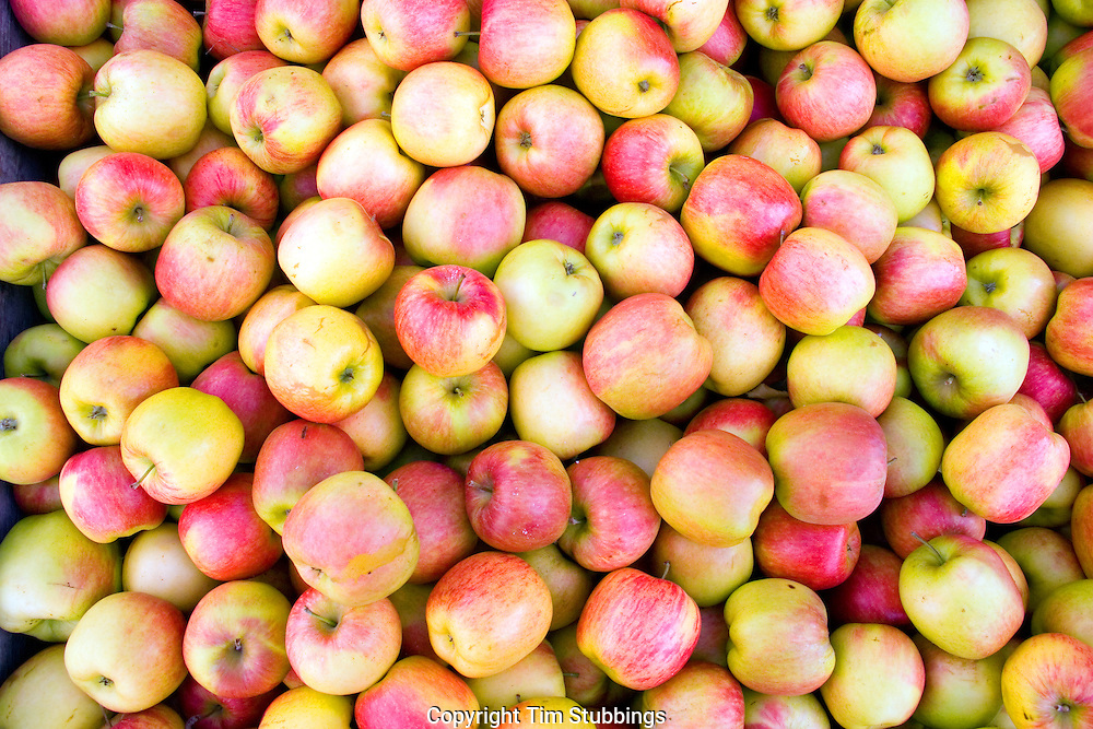 Apples, garden of England, Kent, UK