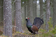 Capercaillie - Tetrao urogallus L 60-90cm. Huge, impressive gamebird. Explodes into flight when disturbed, revealing long wings and tail. Male is almost half as big again as female and sexes are dissimilar in plumage terms. Adult male often looks all-dark but greenish sheen on breast is sometimes seen. Has brownish wings, red wattle above eye and rounded white spot at base of folded forewing. Tail is fanned elevated in display. Adult female has finely barred grey-brown plumage with orange-brown patch on breast. Juvenile resembles a small, dull female. Voice Male utters bizarre sequence of clicks followed by noise that resembles a cork being pulled from a bottle. Status Confined to mature Scots Pine forest in Scotland. Became extinct in 18th Century; current population results from re-introductions. Status Easiest to see at RSPB's Loch Garten reserve.