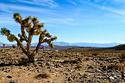 Joshua Trees at Lee Flat Death Valley National Park