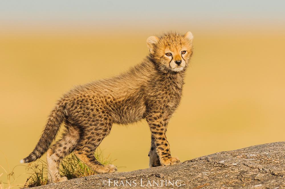 Cheetah cub six weeks old, Acinonyx jubatus, Serengeti National Park, Tanzania