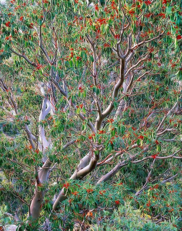 Arbutia xalapensis (Texas madrone tree) / Guadalupe Mountains National Park, TX