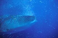 Ningaloo Reef, rare feeding behavior, whale shark feeding on bait ball, Australia, rhiniodontidae typus