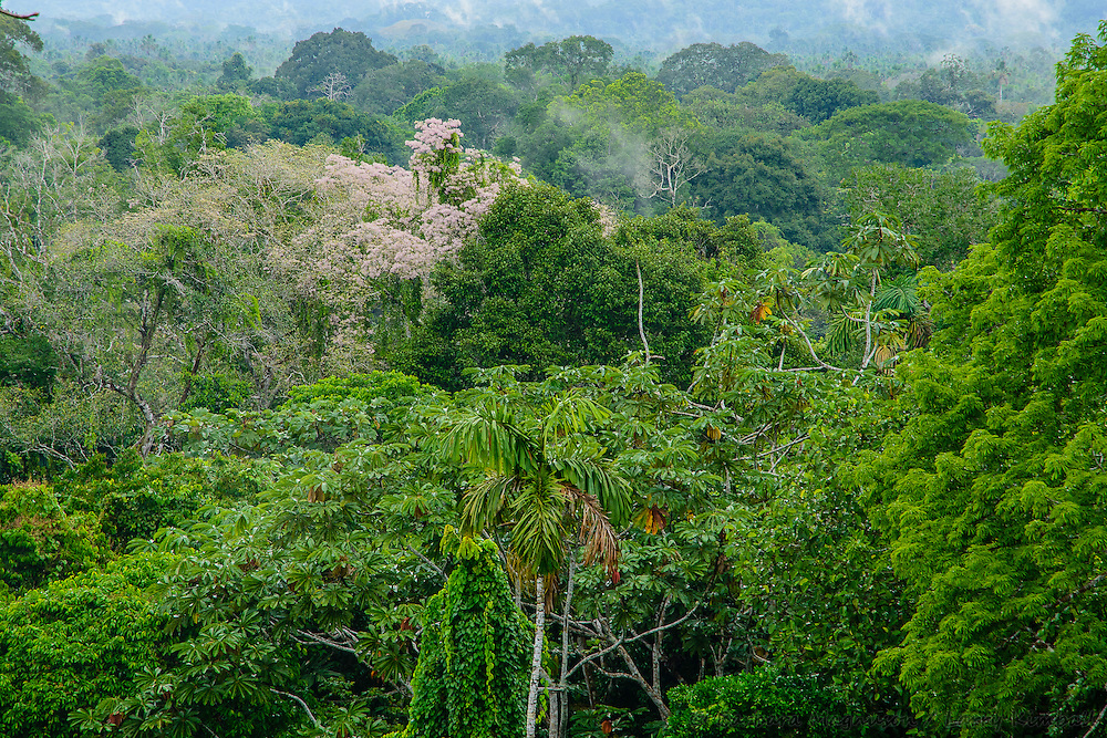 Amazon forest canopy, foliage and flowers; Yasuni National Park, Ecuador