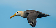 The incredible aerodynamics of the flying albatross was intriquing.  This individual flew by a dozen times before it attempted to land.  The seven plus foot wing-spread and ability to fly almost effortlessly was amazing.