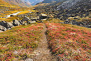 Red bog blueberry (Vaccinium uliginosum) leaves line a trail in late autumn in Archangel Valley in the Talkeetna Mountains of Hatcher Pass in Southcentral Alaska. Afternoon.