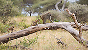 Baboons on fallen tree, Tarangire National Park, Tanzania