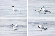 Two black-headed gulls (Larus ridibundus) mate on the frozen Lake Mývatn in northern Iceland. The gull is the smallest gull that breeds in Iceland. This image sequence shows the female waiting for a mate, the gulls singing to each other, and fertalization.