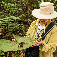 A Lindblad Expeditions guest views a tarantula spider on a green leaf during a nature walk in Casual off of the Marañon River. Pacaya Samiria National Reserve, Upper Amazon, Peru.