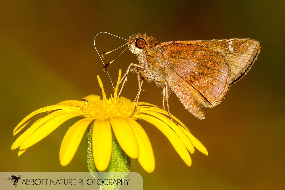 Clouded Skipper - Hodges#3998 (Lerema accius)<br /> United States: Alabama: Tuscaloosa Co.<br /> Tulip Tree Springs off Echola Rd.; Elrod<br /> 6-Oct-2017<br /> J.C. Abbott #2999