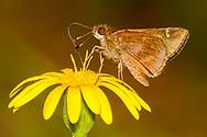 Clouded Skipper - Hodges#3998 (Lerema accius)<br /> United States: Alabama: Tuscaloosa Co.<br /> Tulip Tree Springs off Echola Rd.; Elrod<br /> 6-Oct-2017<br /> J.C. Abbott #2999