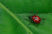 Oak Leaf Roller Beetle (Attelabus nitens) Göhrde, Germany    Das Weibchen des Eichenblattrollers (Attelabus nitens) beißt zunächst die Hauptader des Eichenblattes an, damit es welk wird.