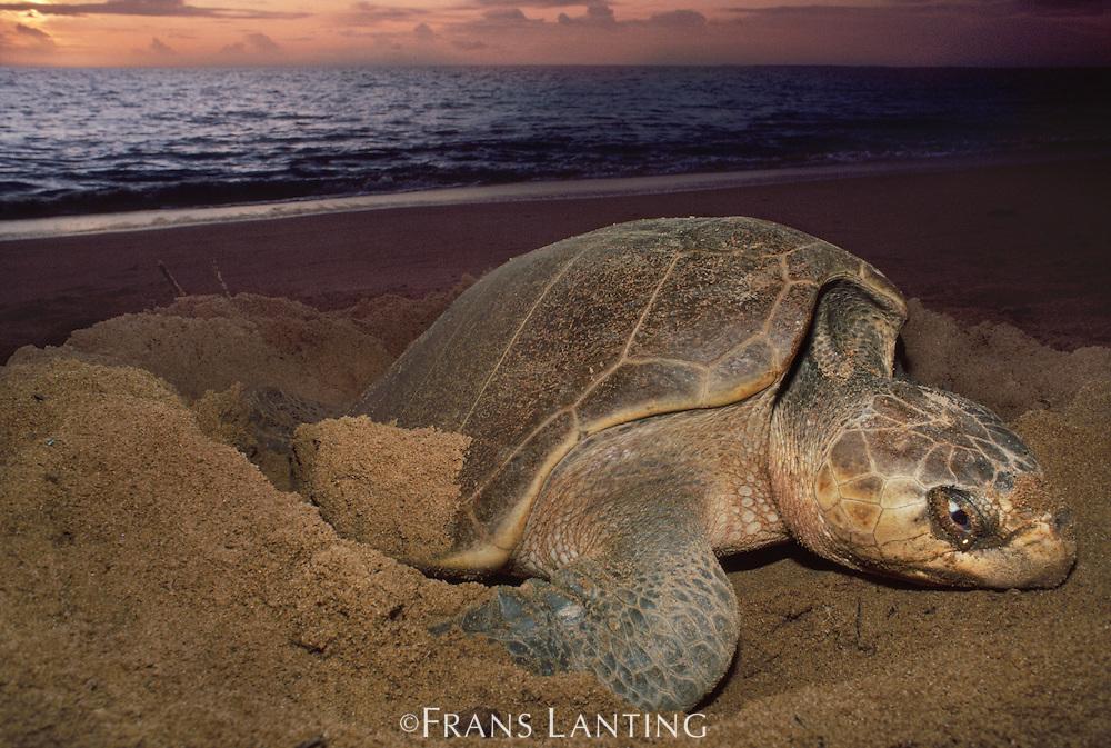 Olive ridley sea turtle nesting, Lepidochelys olivacea, Surinam