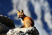 A young Red Fox takes advantage of the morning sun.