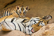 Bengal Tiger<br /> Panthera tigris <br /> 5 week old cub resting on mother at den<br /> Bandhavgarh National Park, India