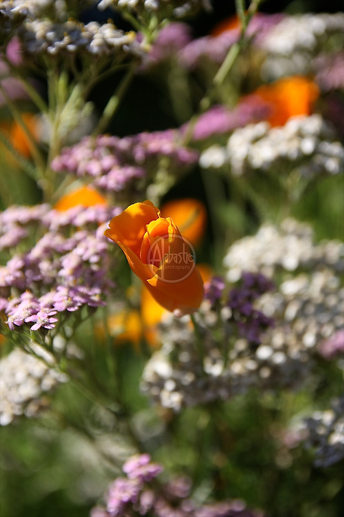 Flowers at home, July 2012. California poppy and yarrow.
