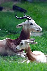 24 July 2005.   Dama Gazelle.<br /> Memphis Zoo.  Memphis TN (Photo by Alan Look)