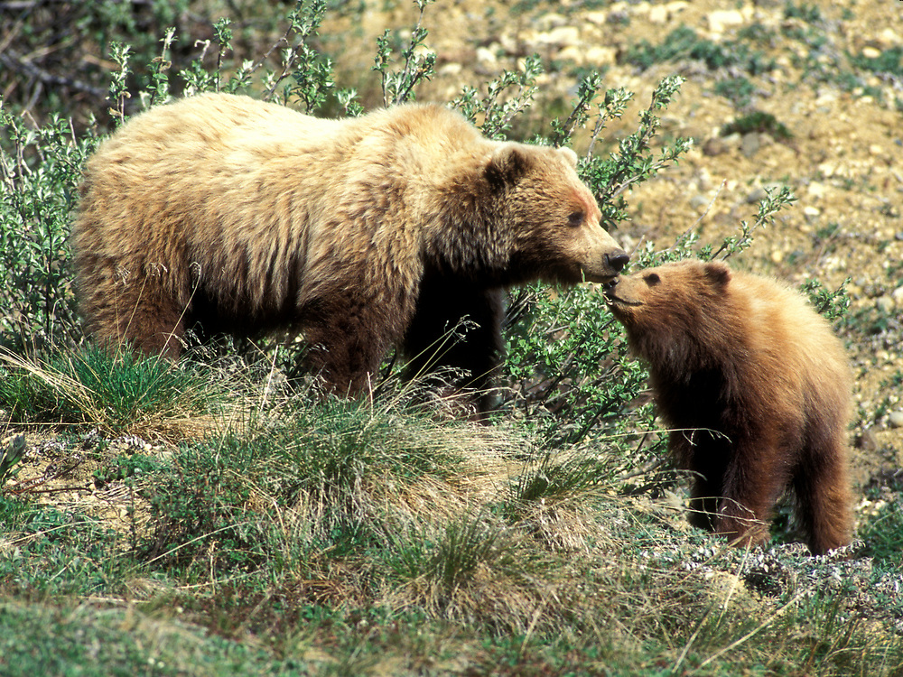 USA, Alaska, Denali National Park, Grizzly Bear sow and cub (Ursus arctos) nuzzle while feeding in Highway Pass