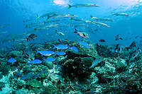 A thick profusion of reef fish swarms above the reef.  Barracudas, Snappers, and Fusiliers<br /> <br /> Shot in Indonesia