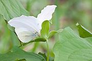 Cabbage White, Pieris rapae, on Trillium grandiflorum, Lapeer County, Michigan
