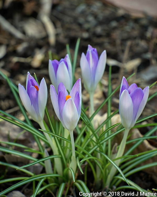 Backyard Garden with early blooming Purple Crocus flower. Winter Backyard Nature in New Jersey. Image taken with a Leica TL-2 camera and 55-135 mm lens (ISO 100, 135 mm, f/4.5, 1/80 sec).