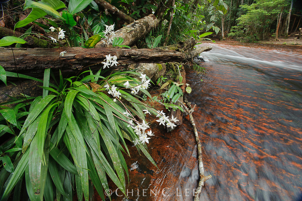 Orchid (Otostylis lepida) growing by streamside. Canaima National Park, Venezuela.