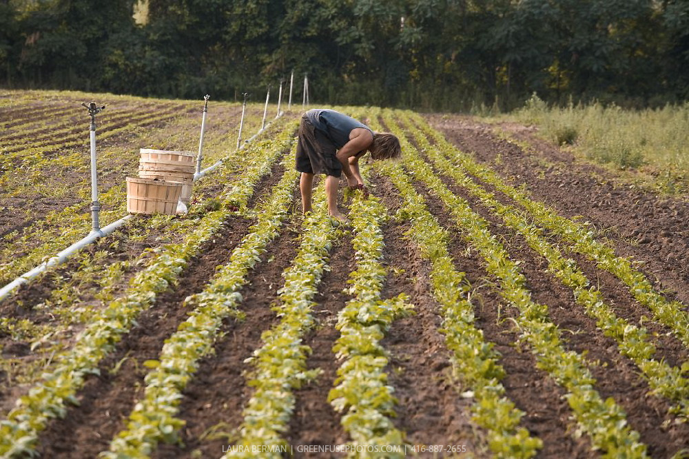 Rows of radish plants being harvested by hand by a farm worker on an organic farm.