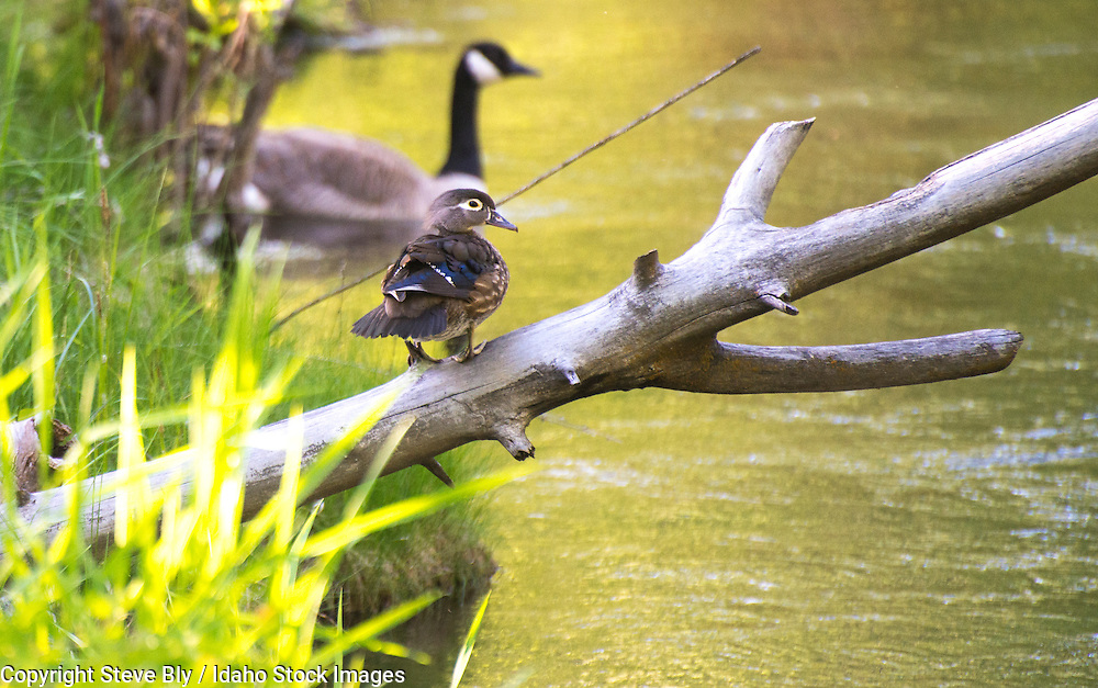 Wildlife, Water birds, Female Wood Duck and Canadian Goose in an Idaho River.