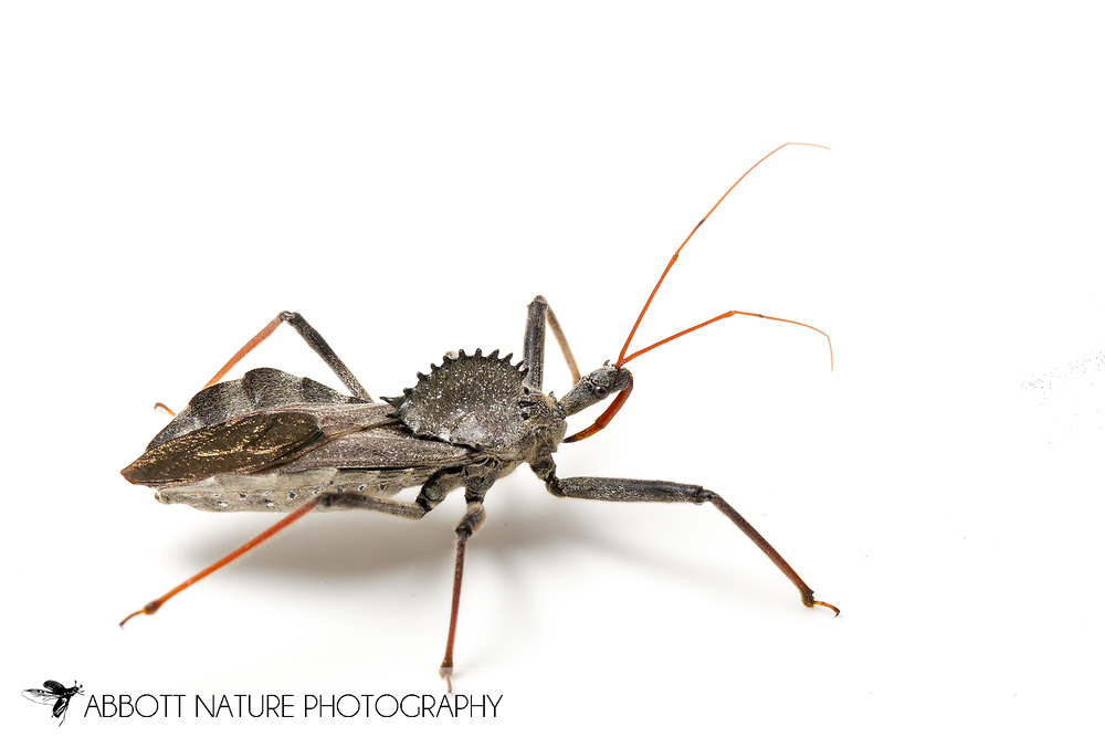 Wheel Bug (Arilus cristatus)<br /> TEXAS: Lamar Co.<br /> Camp Maxey National Guard<br /> Powderly  2.VIII.2014<br /> N33.78015 W95.53824 351 ft<br /> J.C. Abbott #2676 &amp; K.K. Abbott