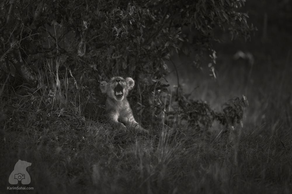 A lion cub yawning under a shrub, Masai Mara, Kenya