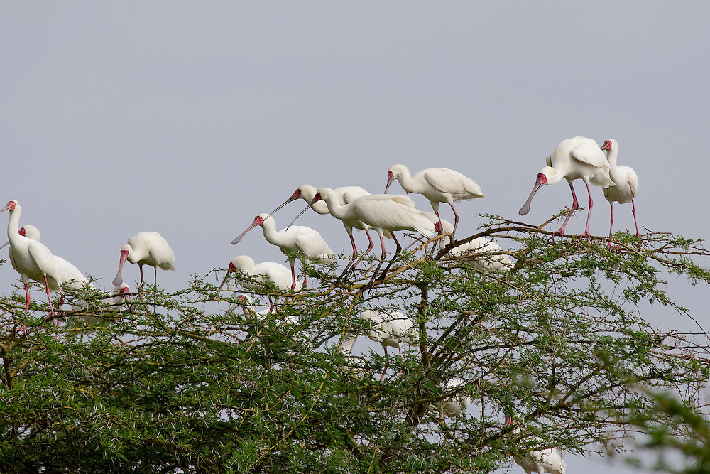 (Platelea alba) Lake Manyara National Park, Tanzania.