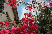 flowering bougainvillea plants Photographed in Neve Tzedek, Tel Aviv, Israel in October